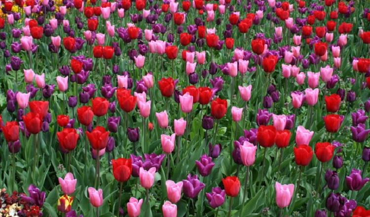 arundel castle tulip festival returns